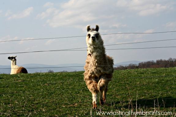 alpaca picture