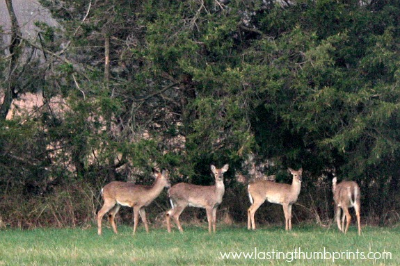 deer on our homestead